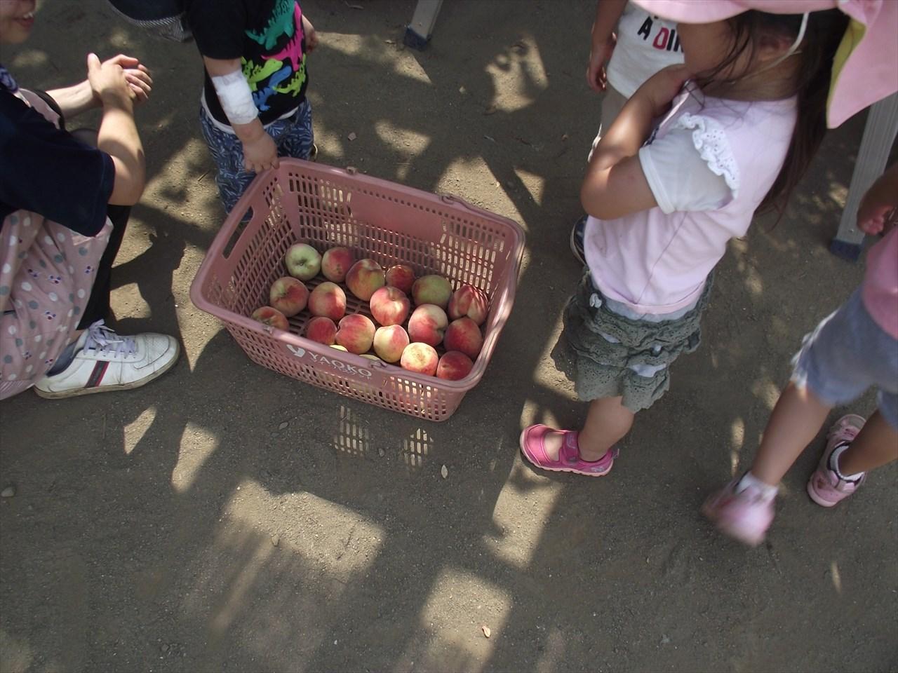 収穫した桃は、ピューレにして、夏まつりのかき氷のシロップにしていただきます。