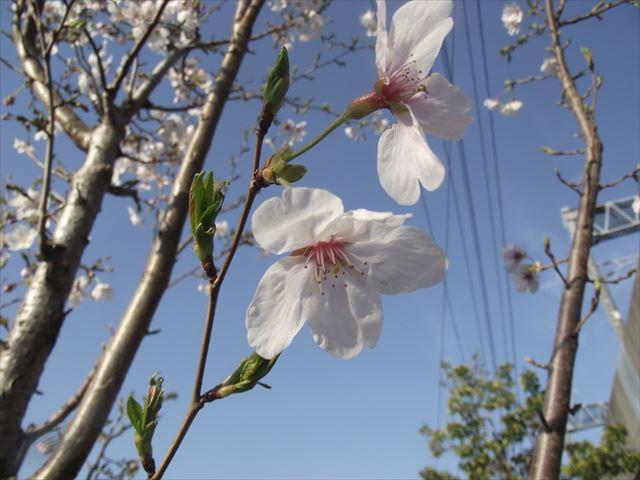 園庭の桜・・