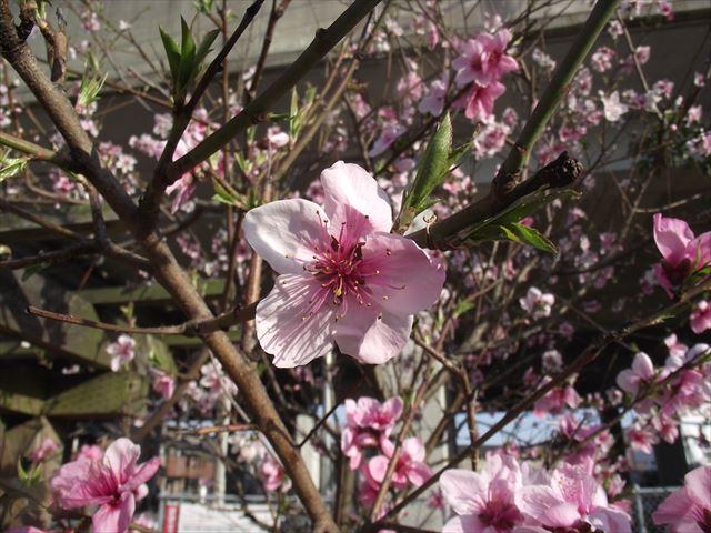 桃の花・・春がきた園庭です。なお、築山は滑りやすいため、職員がついているときのみ使用する約束を幼児さんとしました。